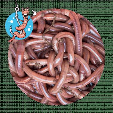 Lebendköder (Tauwurm, 12 Stk.)