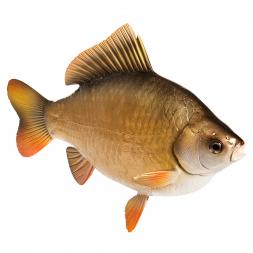Deko-Fisch Karausche
