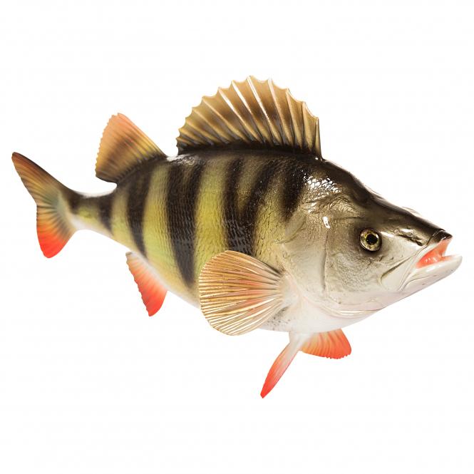 Deko fisch barsch 49 cm g nstig kaufen askari angelshop for Fisch barsch
