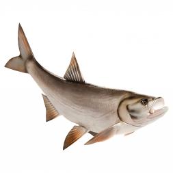 Deco-fish Asp